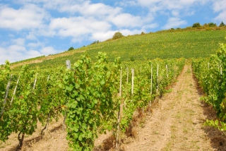 Vineyards on a hill overlooking the Mosel river